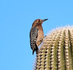 Jan 23 - 11 of 112 (Verde River) Tags: hotairballoons landscape landscapes bird birds phainopepla woodpecker thrush cactuswren cactus kieslingfalcon gambelsquail deer muledeer nature