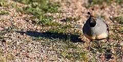 Jan 23 - 53 of 112 (Verde River) Tags: hotairballoons landscape landscapes bird birds phainopepla woodpecker thrush cactuswren cactus kieslingfalcon gambelsquail deer muledeer nature