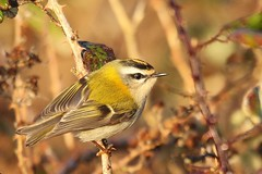 Firecrest   (Regulus ignicapilla). Dungeness RSPB (GrahamParryWildlife) Tags: firecrest dungeness rspb kent uk tiny small grahamparrywildlife crest yellow orange sigma 150600 sport canon 7d mk2 bird tree food macro animal outdoor songbird viewing photo flickr add flower plant