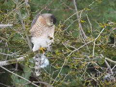 Cooper's Hawk (bencbright) Tags: coopershawk coopers hawk raptor adult female red eye canonsx60 canon superzoom bird accipiter latah moscow idaho northidaho winter
