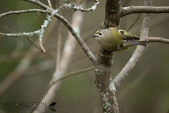 Goldcrest (Matt Hazleton) Tags: bird wildlife animal nature outdoor canon canoneos7dmk2 canon500mm 500mm eos 7dmk2 matthazleton matthazphoto cornwall goldcrest regulusregulus