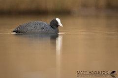 Coot (Matt Hazleton) Tags: bird wildlife animal nature canon canoneos7dmk2 canon500mm 500mm eos 7dmk2 matthazleton matthazphoto cornwall outdoor coot fulicaatra water waterfowl waterbird wildfowl