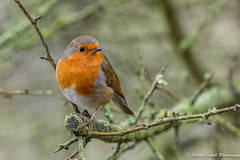 Robin (martin.baskill) Tags: 2020 attenboroughnaturereserve january nottinghamshire birds robin