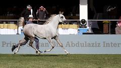 Rhythm controlling ! (Meshari Fahad) Tags: horses animals running motion riyadh canon7d light beauty show