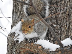 Backyard Wildlife Photography (Anton Shomali - Thank you for over 3 million views) Tags: squirrel backyard wildlife photography backyardwildlifephotography nikon coolpix p900 animal snow tree shelter nature winter sciuridae adorable woods small smallanimal