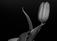 Tulpe (wpt1967) Tags: 23012020 blumenprojekt canon50mmcompactmacro canon6d eos6d tag6 tulpe bw gelb sw tulip wpt1967 yellow
