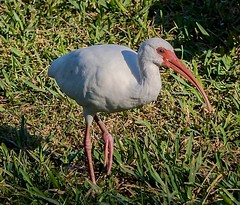 Froze For A Pose (ACEZandEIGHTZ) Tags: americanwhiteibis nikond3200 bird grass yard nature avian closeup macro eudocimusalbus wings winged feathers