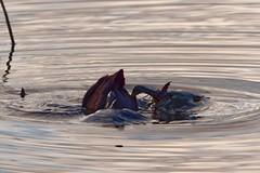 Foulque macroule (fulica atra) (pierre.pruvot2) Tags: hautsdefrance côtedopale pasdecalais wissant chemindufartz oiseau bird coot courte marais étang pond lac lake eau water