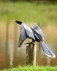 Biguatinga (Joel Junior Fotos) Tags: ave bird passaro bigua biguatinga nature natureza lake lago