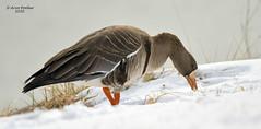 Greater White Fronted Goose (Arvo Poolar) Tags: greaterwhitefrontedgoose outdoors ontario scarborough canada arvopoolar nikond500 naturallight nature natural naturephotography winter waterfowl snow
