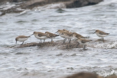 Dunlin (Dougie Edmond) Tags: scotland unitedkingdom southayrshire bird nature wildlife wader