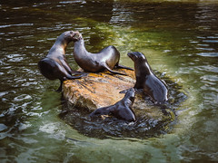 I have the high ground! (torwei2go) Tags: harbour harbor seals common seal berlin zoo zoologischer garten animals animal tier tiere wildlife wild nature natur zoos seehund see hund meer sea