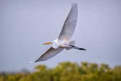 Great egret in flight above Ten Thousand Islands National Wildlife Refuge near Naples, Florida (diana_robinson) Tags: greategret ardeaalba tenthousandislandsnationalw 10000islandnationalwildlife marshtrail mangroveislands mangrovehabitat naplesflorida floridausstate environment environmentalconservation outdoors beautyinnature nopeople remotelocation mangroveforest nature nonurbanscene dramaticsky tree idyllic tranquilscene dawn marsh wetland tenthousandislandsnationalwildliferefuge 10000islandnationalwildliferefuge