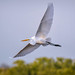 Great egret in flight above Ten Thousand Islands National Wildlife Refuge near Naples, Florida