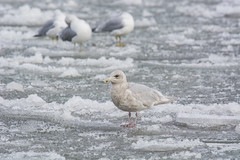 Iceland Gull (Lyle Glen) Tags: nikon d7100 dslr nikkor 300mm f4 afs pf vr ontario canada lake water nature wildlife bird birding swans geese ducks gulls animals beautiful