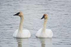 Trumpeter Swans (Lyle Glen) Tags: nikon d7100 dslr nikkor 300mm f4 afs pf vr ontario canada lake water nature wildlife bird birding swans geese ducks gulls animals beautiful
