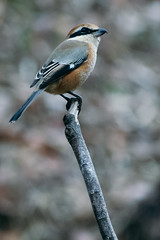 _DSC9807-Edit (imamuan) Tags: shrike bird nature japan tokyo machida yakushiike 東京 町田 薬師池 百舌鳥 モズ 野鳥