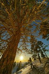 Perspective Pine Stand Sunset (franklin331) Tags: aspect backcountry bale bliss blissdinosaurranch blissphotographics blissranch border borderland borderlands factfriday followfriday frame frankbliss franklinebliss fridayfun fridayreads hillside image land landscape montana perspective photo pine ranchlands roundbale scenery scenic snow sonyalpha sunrise wyoming