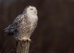 Snowy Owl (NicoleW0000) Tags: owl snowyowl snowy arcticowl harfangdesneiges bird birdofprey raptor wild wildlife naturephotography