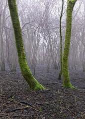 Moss covered tree trunks in fog (ivanstevensphotography) Tags: wood woods woodland woodlandphotography fog foggy foggymorning tree trees treetrunks trunks lichen moss algae