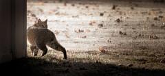 Bobcat (RWGrennan) Tags: bobcat wild wildlife new lebanon york ny upstate nature outdoors lynx rufus morning light nikon d610 tamron 150600 rwgrennan rgrennan ryan grennan