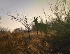 Nyala Antelope in South Africa (` Toshio ') Tags: toshio nyala antelope southafrica africa klaserieprivatenaturereserve nature animal bush safari moritisafaris mammal canon7d canon 7d wildlife tree