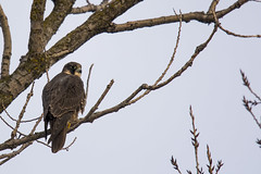Peregrine Falcon (Lyle Glen) Tags: nikon dslr d7100 nikkor 300mm f4 afs vr pf wildlife nature birds prey falcon peregrine canada ontario