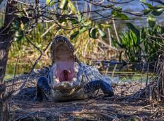 Sweetly yawns (Mike_FL) Tags: sweetlyyawns nikon nikond7500 nature florida floridawildlife floridabirdingtrail tamron100400 photograph park image alligator animal mikesphotography