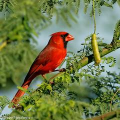 Cardinal Enjoys Seed Pod (dcstep) Tags: red male cardinal northerncardinal blue green bird hawaii pod feeding seed bean bigisland kona allrightsreserved sonya9 dxophotolab fe600mmf4gmoss copyright2020davidcstephens dsc8355dxo instagram