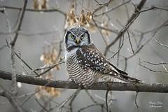 Chouette Épervière - Northern Hawk Owl (claudefortin.cf) Tags: aves birds chouetteépervière northernhawkowl strigidae strigidés strigiformes surniaulula oiseaux