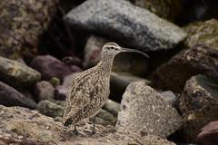Pequeño zarapito (Litrosss) Tags: ave playa
