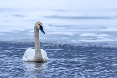 dapper dan (jimmy_racoon) Tags: canon 5d mk2 fort snelling state park trumpeter swan 2020 minnesota nature swans waterfowl winter canon5dmk2 fortsnellingstatepark trumpeterswan