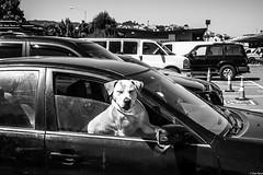 Alemany2017Jul 9.jpg (Dan Ryan's Works) Tags: alemanyboulevard alemanyboulevardsf alemanyfleamarket sanfrancisco sanfranciscoca sanfranciscocalifornia sanfranciscostreetphotography sanfranciscostreetphotos blackandwhite blackandwhitephotography dogphotography dogphotos dogs monochrome monochromephotography streetlife streetphotography streetphotos