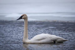 swan lake (jimmy_racoon) Tags: canon 5d mk2 fort snelling state park trumpeter swan 2020 minnesota nature swans waterfowl winter canon5dmk2 fortsnellingstatepark trumpeterswan