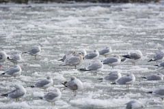 Iceland Gull Adult (Lyle Glen) Tags: nikon d7100 dslr nikkor 300mm f4 afs pf vr ontario canada lake water nature wildlife bird birding swans geese ducks gulls animals beautiful