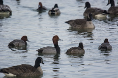 Redheads (Lyle Glen) Tags: nikon d7100 dslr nikkor 300mm f4 afs pf vr ontario canada lake water nature wildlife bird birding swans geese ducks gulls animals beautiful