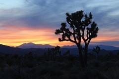 Joshua Tree National Park, California (russ david) Tags: joshua tree national park sunset silhouette travel california ca yucca brevifolia boy scout trail april 2019 hike hiking