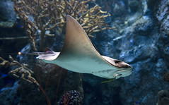 Aquarium of the Pacific (hammerwold) Tags: aquarium pacific long beach california fish fishes jellyfish pufferfish puffer stingray sting ray sea ocean aquatic tank