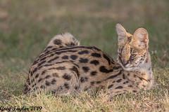 Surprise Serval (Greg Taylor Photography) Tags: serval kenya masai mara africa safari savanna wild cat