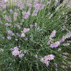 24/366 lavender (retrokatz) Tags: