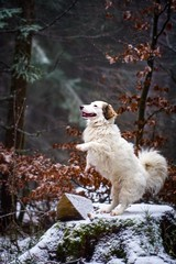 Little dancer (A.K. 90) Tags: dogs dog doglove hunde hundeshooting pet haustier animal tier outside outdoor forest wald tree baum sonyalpha6300 fe85mm18 creative kreativ artistic jump sporty walk spaziergang white weis