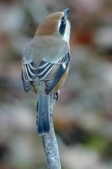 _DSC9716-Edit-Edit (imamuan) Tags: shrike bird nature japan tokyo machida yakushiike 東京 町田 薬師池 百舌鳥 モズ 野鳥