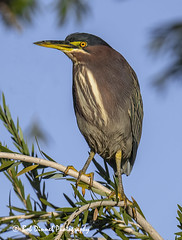 Green Heron (bobdinnel) Tags: birds heron greenheron