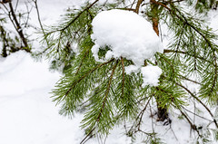The branch of pine under the snow (ivan_volchek) Tags: background branch celebrate celebration christmas concept conifer contrast cool cover decoration design falling flakes fluffysnow forest frost frozenbranch green hoarfrost holiday light natural nature needle needles new newyear object outdoor pattern pine plant pure rime season seasonal snow snowfall snowflakes snowy splashscreen spruce style symbol tree white winter winterforest wood