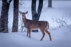 silence in snow (jimmy_racoon) Tags: canon 400mm f56l 5d mk2 fort snelling state park white tailed deer 2020 flurries minnesota nature snow winter canon400mmf56l canon5dmk2 fortsnellingstatepark whitetaileddeer