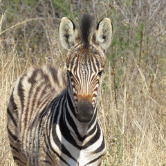Good Morning Flickr!  ( Baby Zebra /  Zebra vulletjie) (Pixi2011) Tags: zebra rietvleinaturereserve southafrica africa wildlifeafrica wildlife wildanimals animals nature