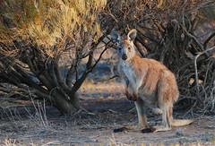 A Euro at twilight (Queen of the Swarm) Tags: euro hillkangaroo kangaroo nature wildlife australiananimal marsupial macropod flindersranges twilightkangaroo wallaroo macropusrobustus