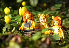 A dash of yellow (captain_j03) Tags: winter aconite eranthishyemalis winterling toy spielzeug 365toyproject lego series14 minifigure minifig cheetah justiceleague tigerlady lookingcloseonfriday winterflora flora
