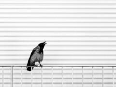 Krähe am Fenster (Peter Drach (aka PeteDragomir)) Tags: rabe krähe vogel intelligent schwarz grau urbanisiert raven crow bird black gray urbanized corvo uccello intelligente nero grigio urbanizzato 乌鸦鸟鸟智能黑灰色都市化 corbeau oiseau noir gris urbanisé κοραλλιογενήσ πουλί ευφυήσ μαύρο γκρι αστικοποιημένο balkon
