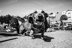 Alemany2018Sept 22.jpg (Dan Ryan's Works) Tags: alemanyboulevard alemanyboulevardsf alemanyfleamarket sanfrancisco sanfranciscoca sanfranciscocalifornia sanfranciscostreetphotography sanfranciscostreetphotos blackandwhite blackandwhitephotography dogphotography dogphotos dogs monochrome monochromephotography streetlife streetphotography streetphotos